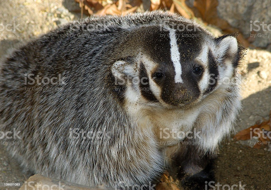Stop Badgering me! royalty-free stock photo