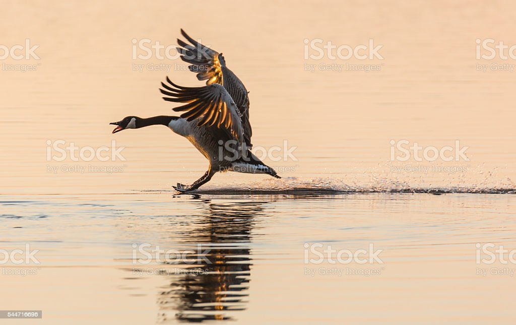 Stoppppp - Canada Goose (Branta canadensis) stopping on water stock photo