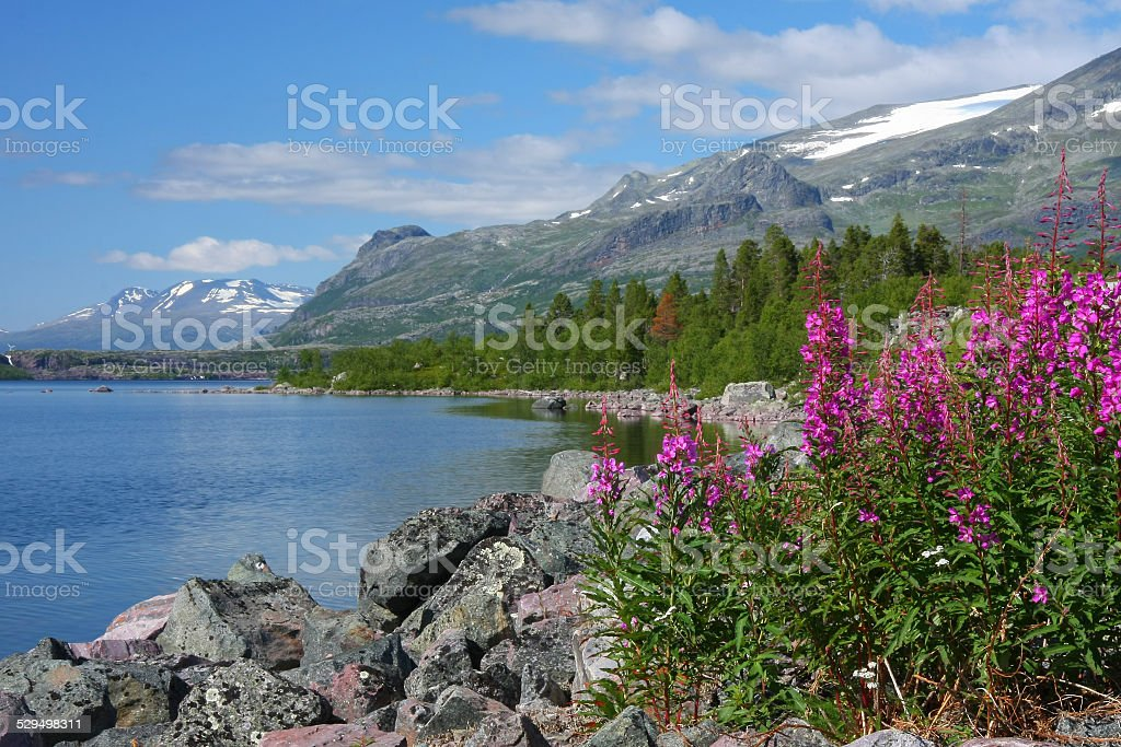 Stora sj?fallets national park, mountains, fireweed in foreground stock photo