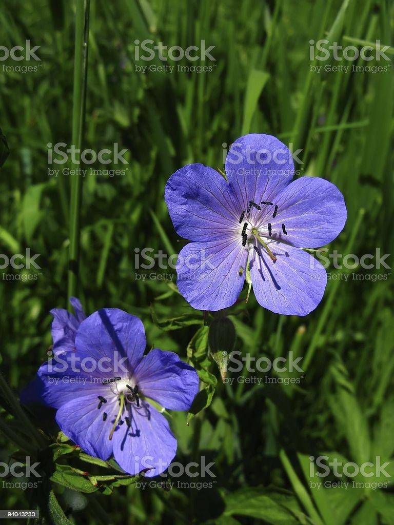 Storchschnabel stock photo