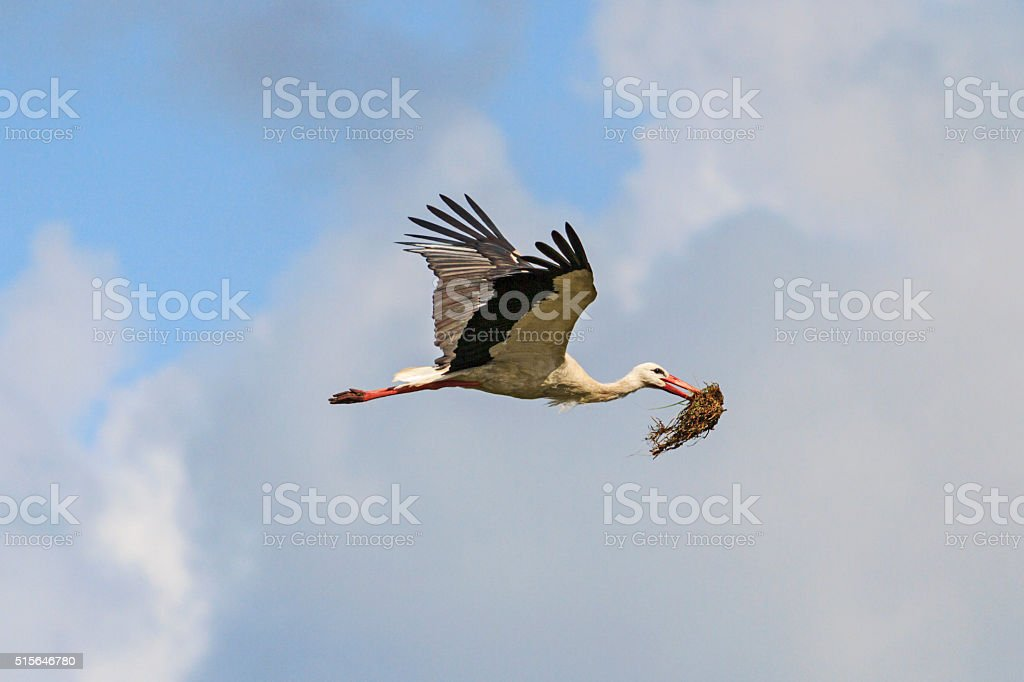 Stork carrying material for nest on a background cloudy sky stock photo