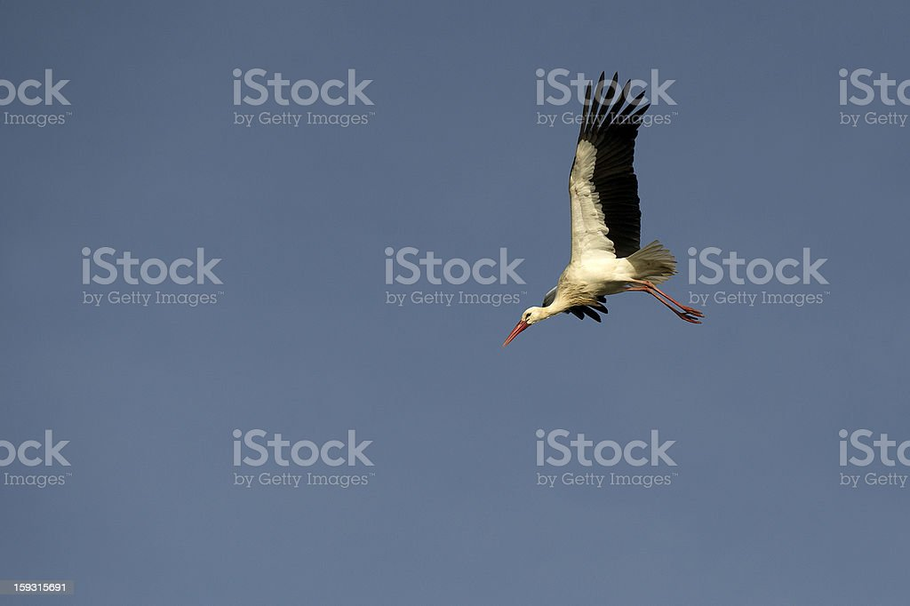 Stork / Cegonha royalty-free stock photo