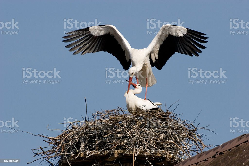 Stork couple on a nest, on top of a building stock photo