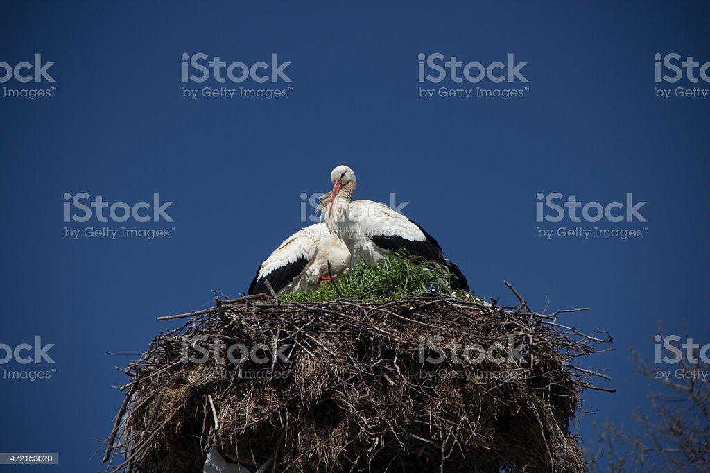 Stork couple. stock photo