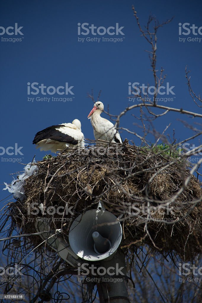 Stork couple stock photo