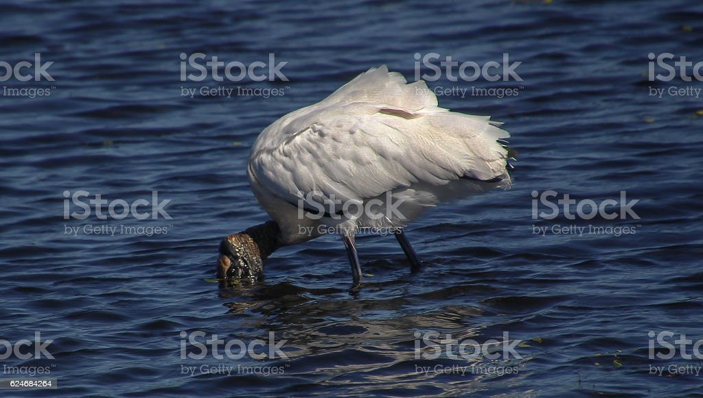 Stork drinking stock photo