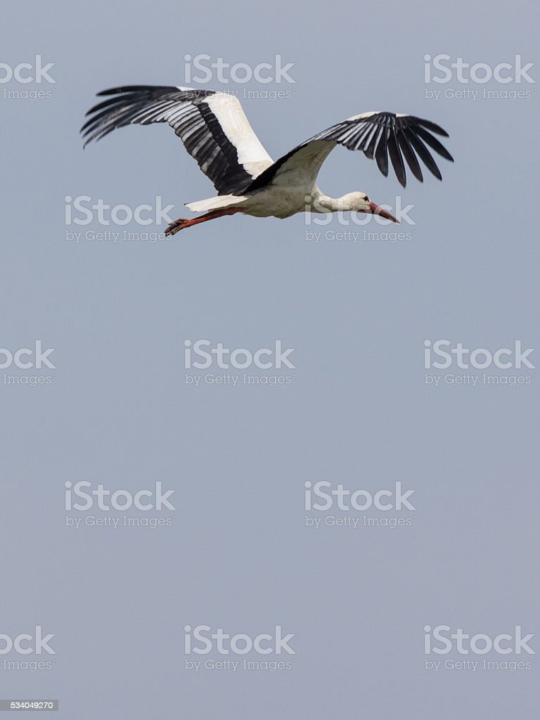 Stork flight stock photo