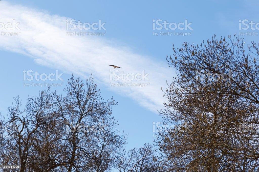 Stork flying over trees stock photo