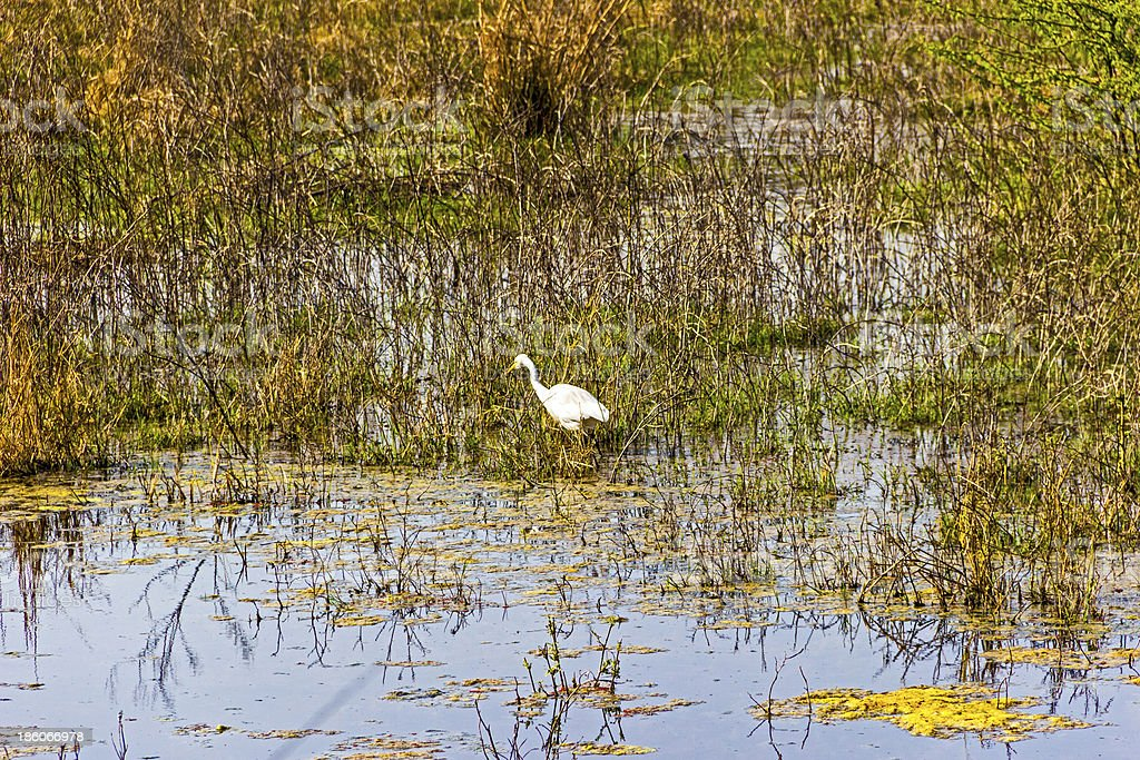 stork in the lake of Keolado National Park, India. stock photo