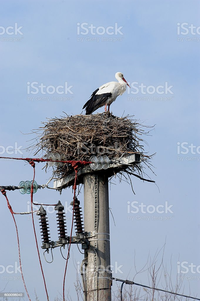 Stork in the nest on a pylon of power lines stock photo