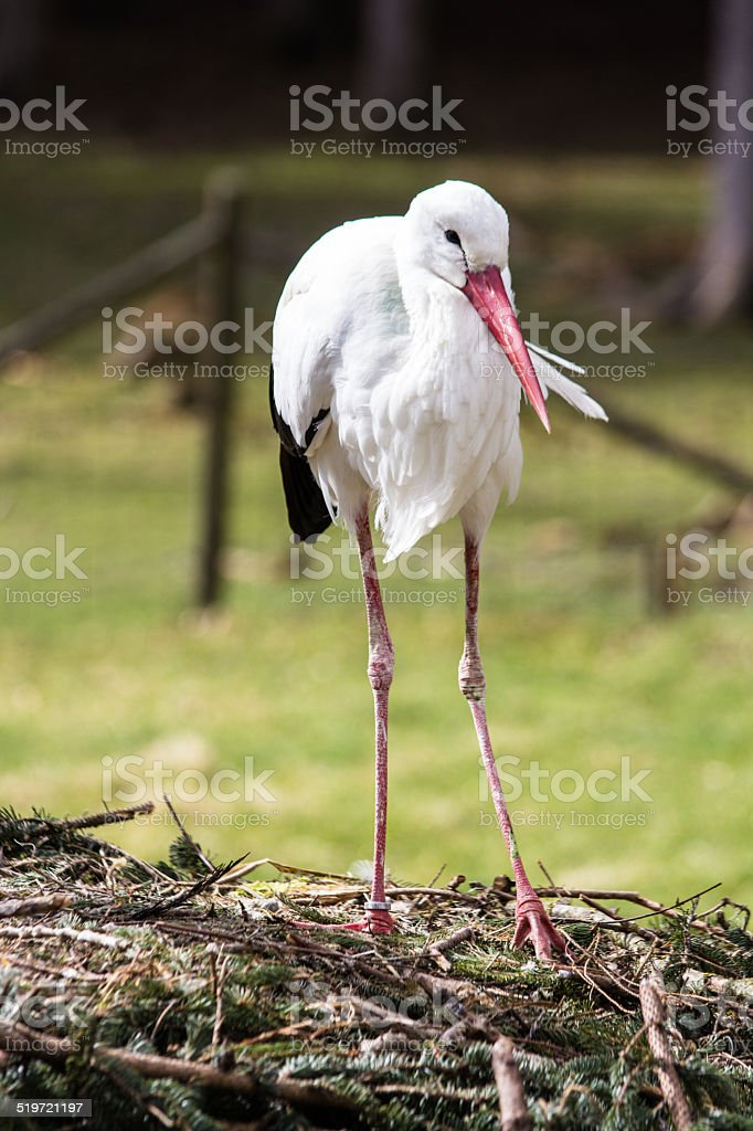 stork in the nest stock photo