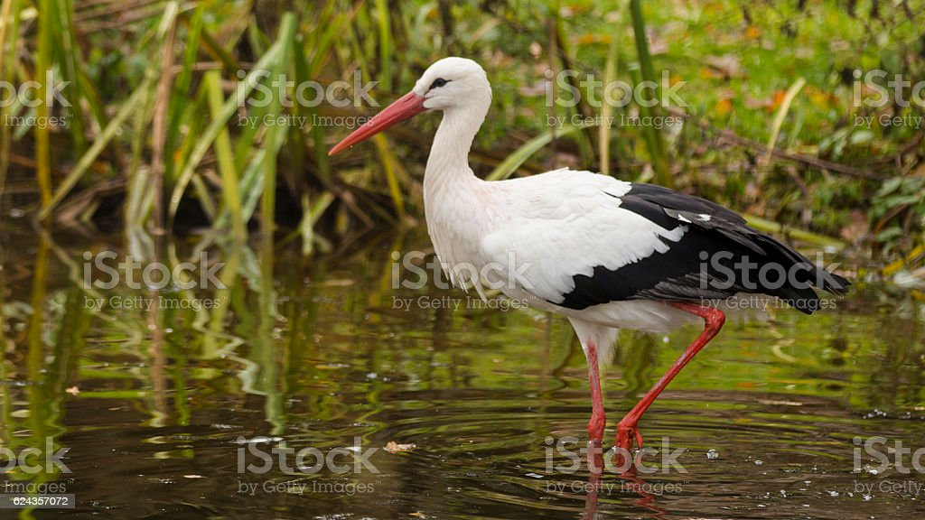 Stork in wather stock photo