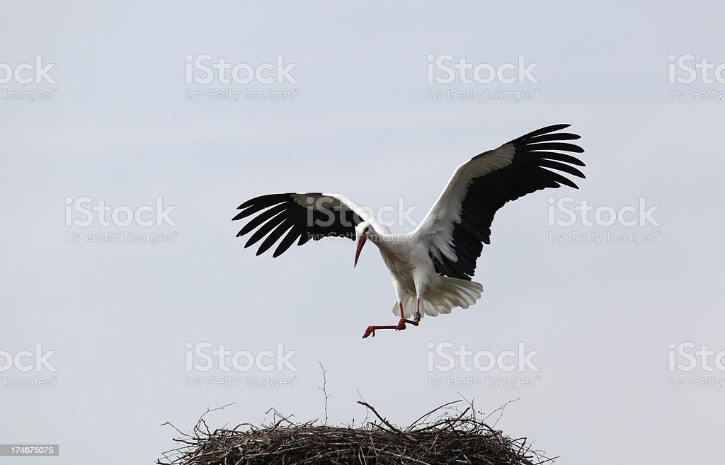 Stork landing stock photo