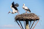 Stork lands off the nest, Salburua park, Alava