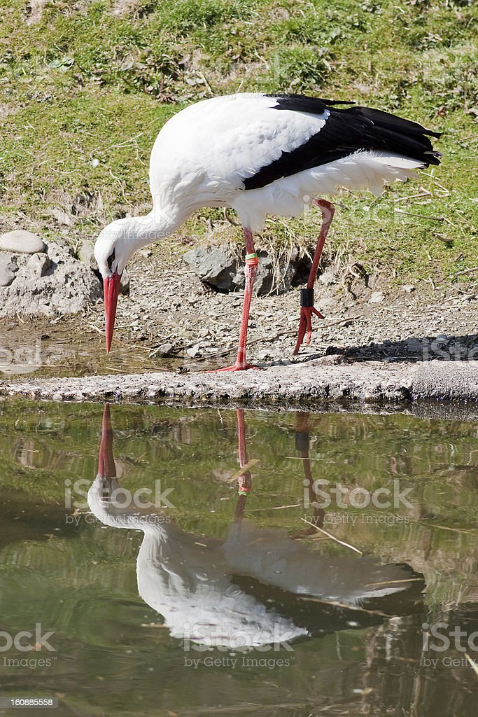 Stork mirroring in the water royalty-free stock photo