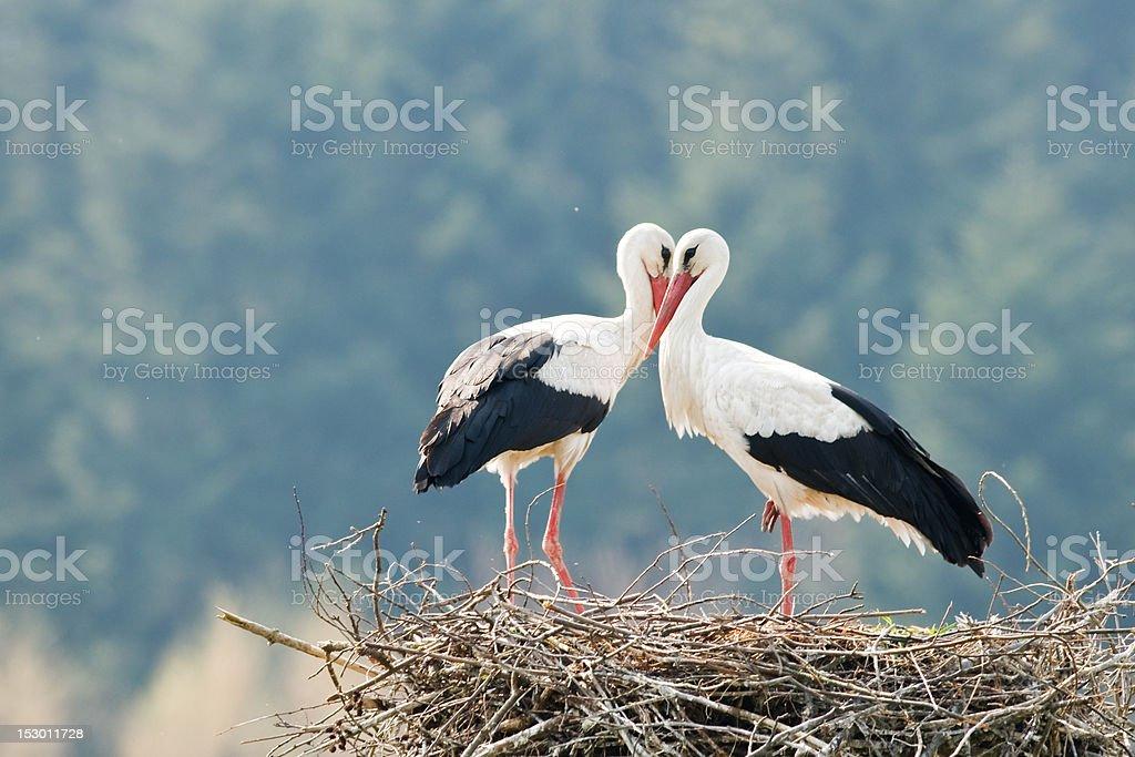 stork stock photo