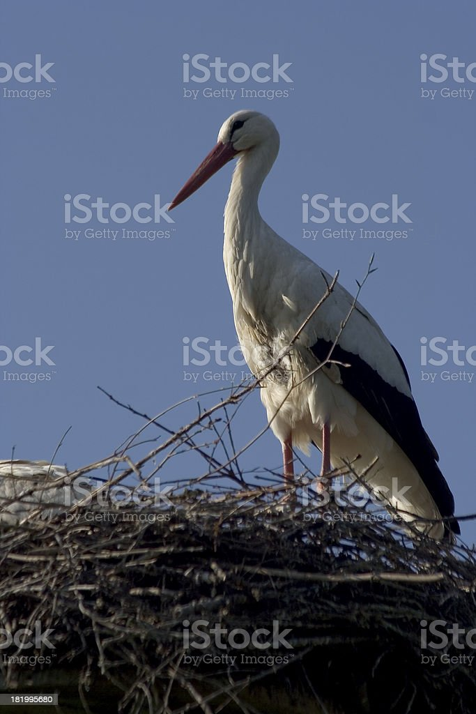 Storch - stock photo