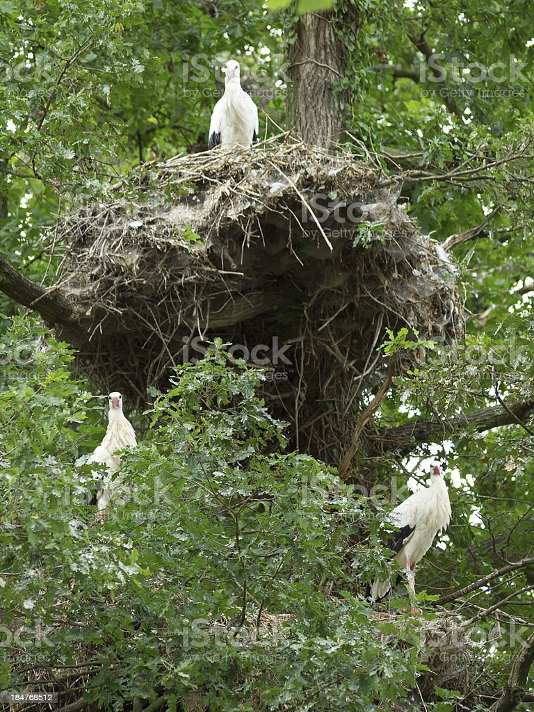 storch stock photo