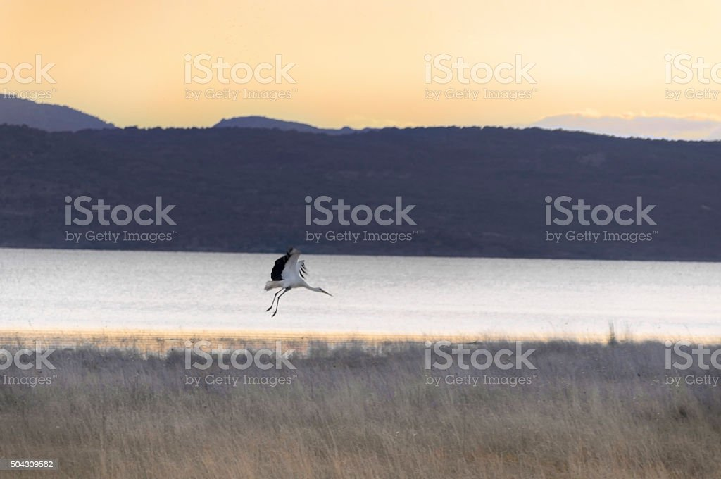 Stork plans at sunset over the lake stock photo