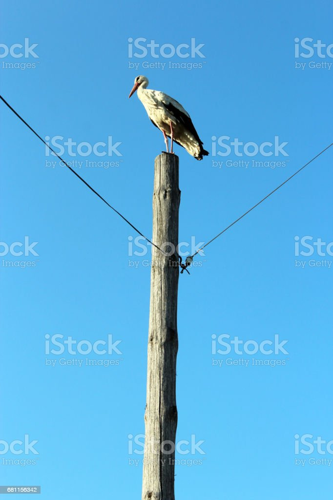 stork standing on the telegraph-pole stock photo
