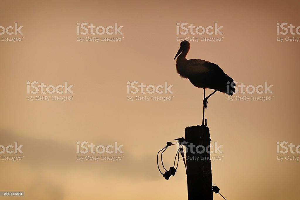 Stork stands at the electrical pole on the sunset stock photo