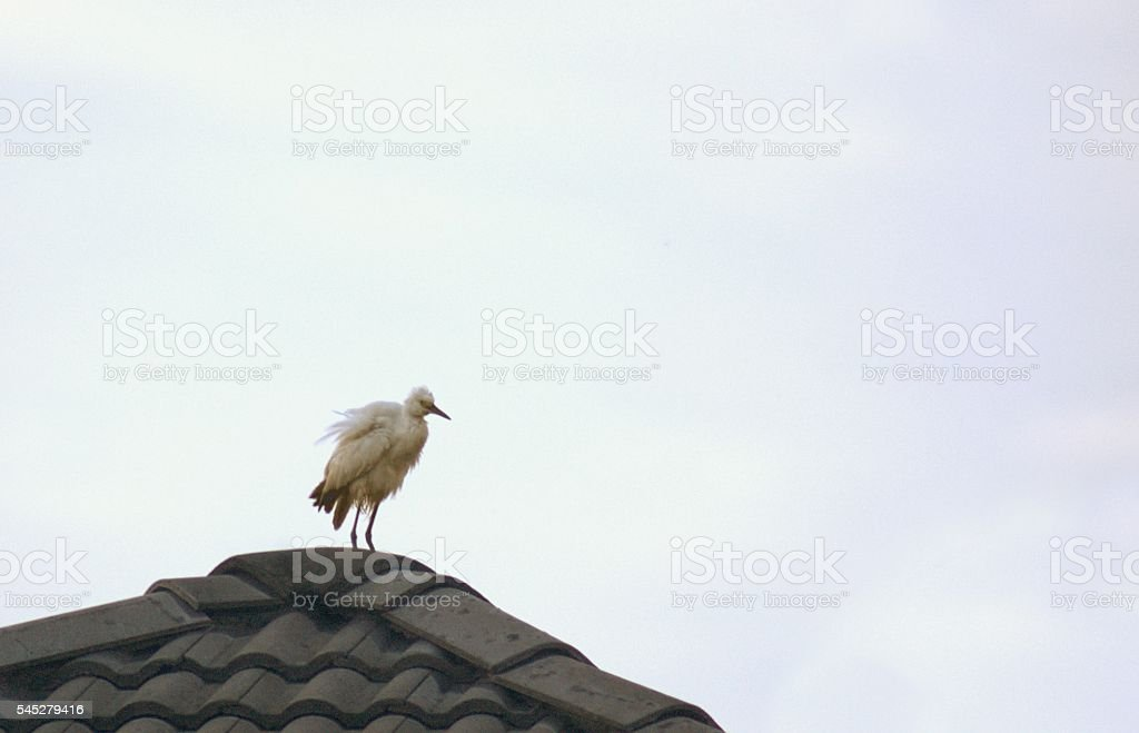 Stork with ruffled feathers on a roof foto de stock libre de derechos