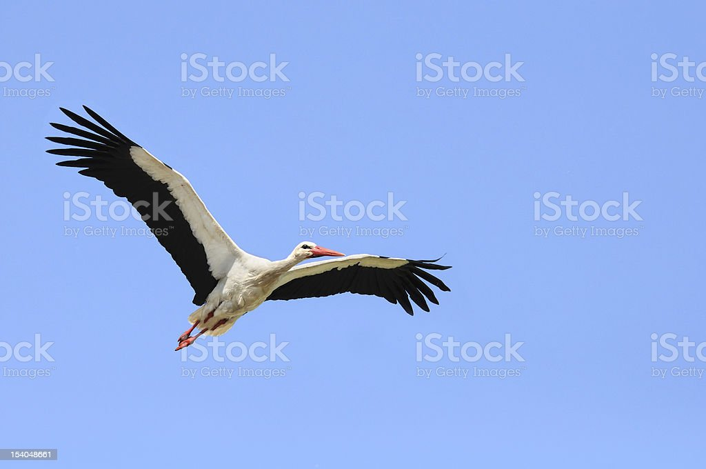 Stork with Spread Wings Flying in Blue Sky royalty-free stock photo