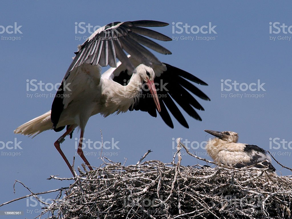 Stork with Young on Nest royalty-free stock photo