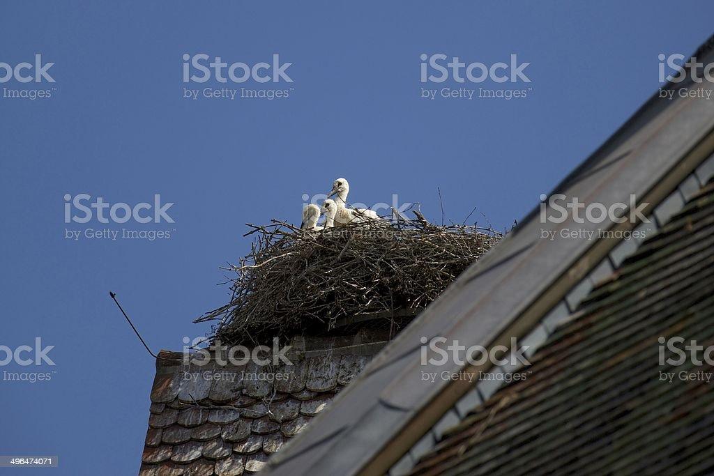 Storklets inside Stork's Nest stock photo