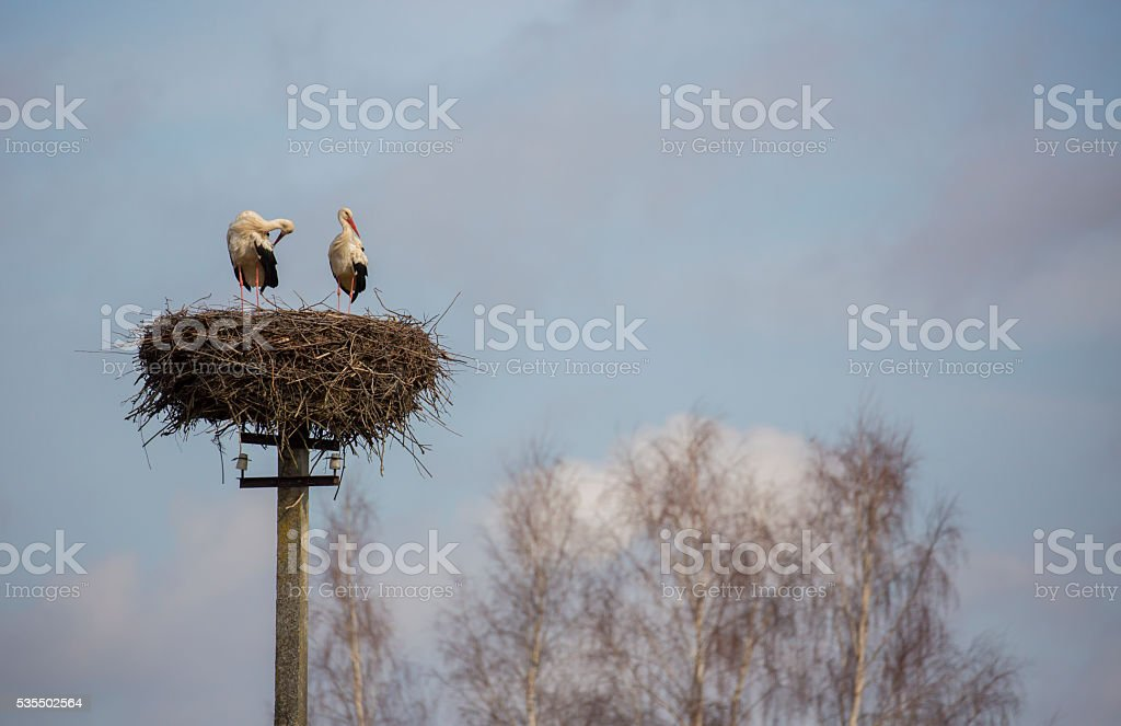 storks are standing in the nest on the electric pole stock photo