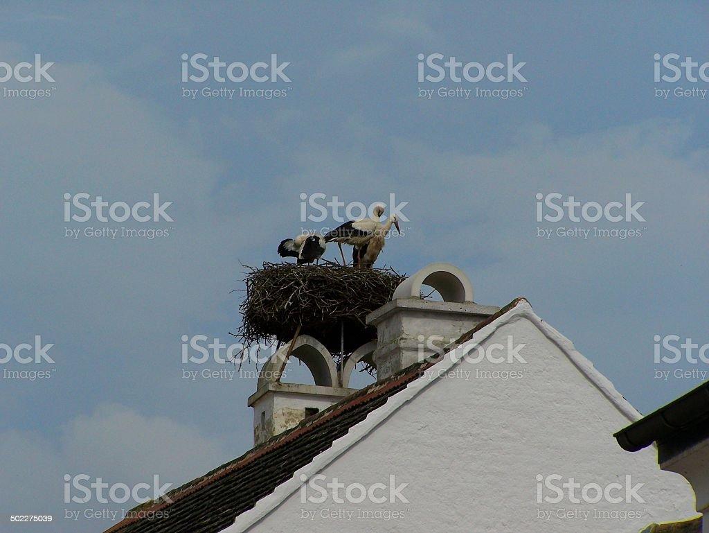 storks building a nest stock photo