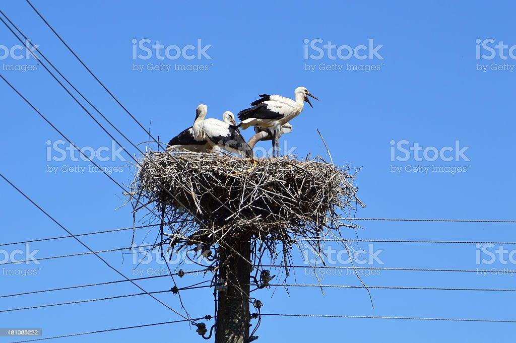 Storks family in nest stock photo