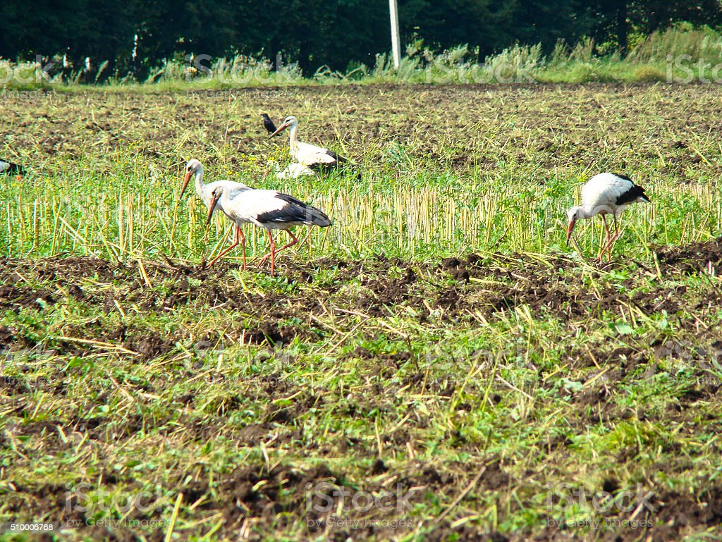 Storks in the marsh stock photo