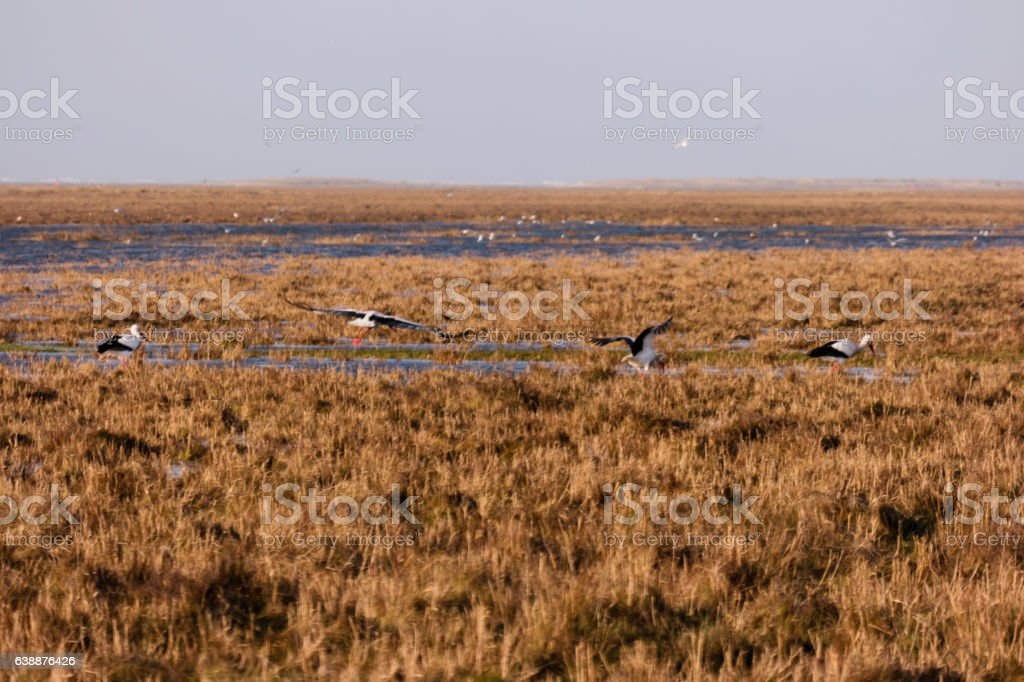 Storks in the thurm cap of St. Peter-Ording in Germany stock photo