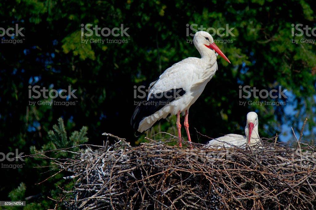 Storks in their Nest stock photo