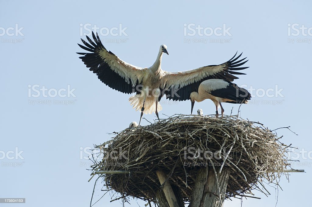 stork's nest with young storks royalty-free stock photo