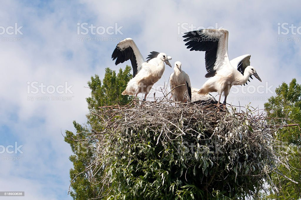 Stork's Nest with young Storks stock photo