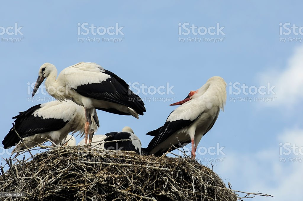 Storks on the Nest stock photo