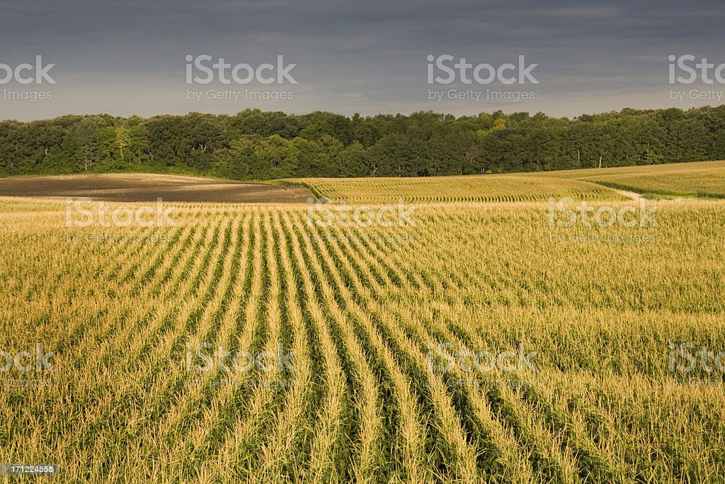 Storm Approaching the Corn Field royalty-free stock photo