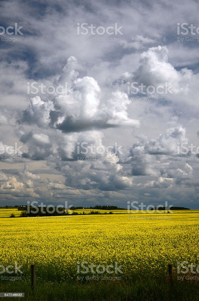 Storm Clouds and Canola Fields stock photo
