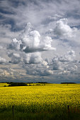 Storm Clouds and Canola Fields