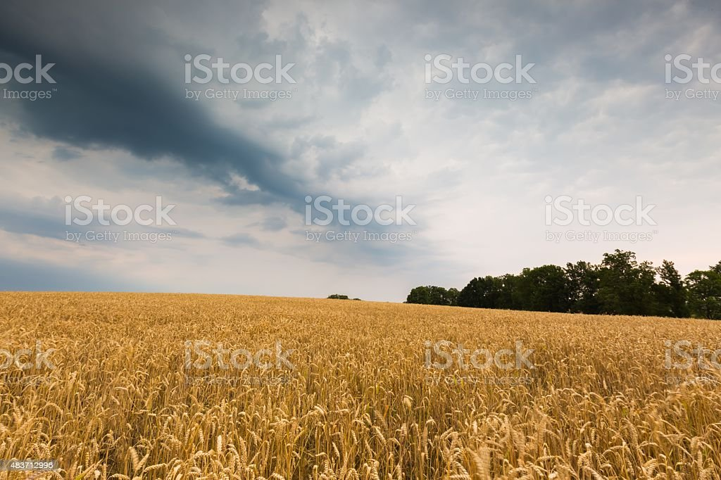 Storm clouds over wheat field. stock photo