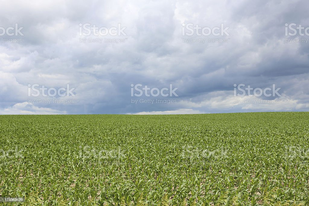 Storm clouds rolling over corn field in Midwest royalty-free stock photo