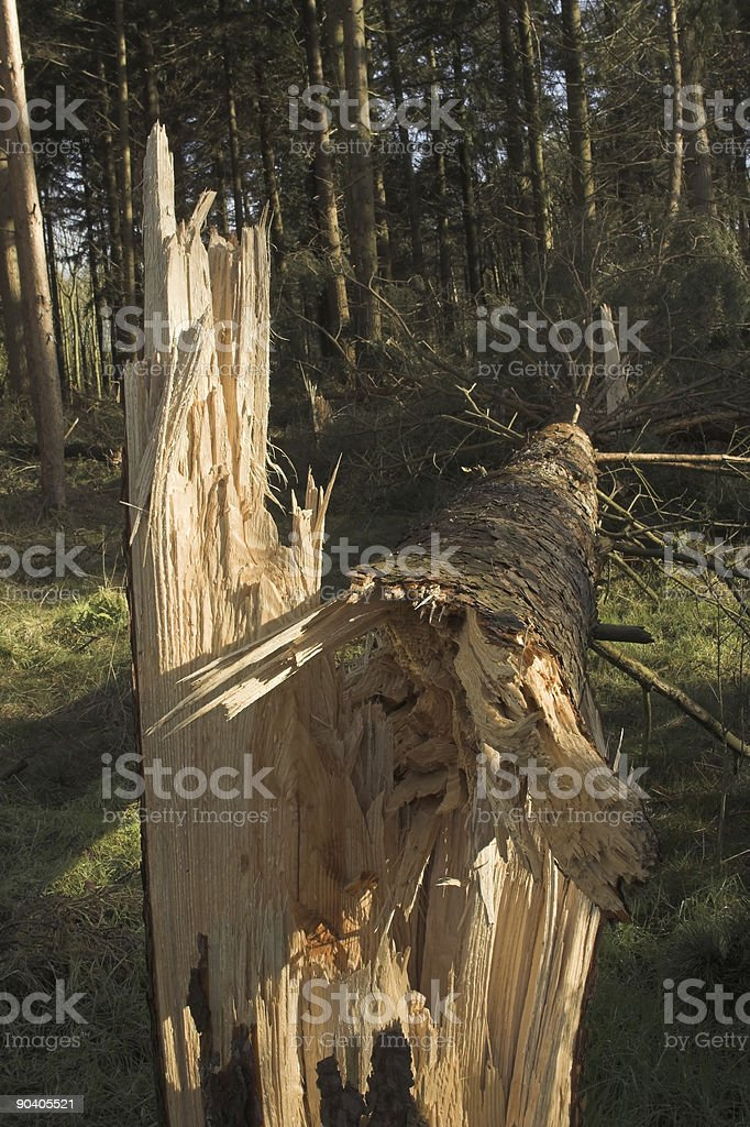 Storm damage in forest; broken trees. royalty-free stock photo