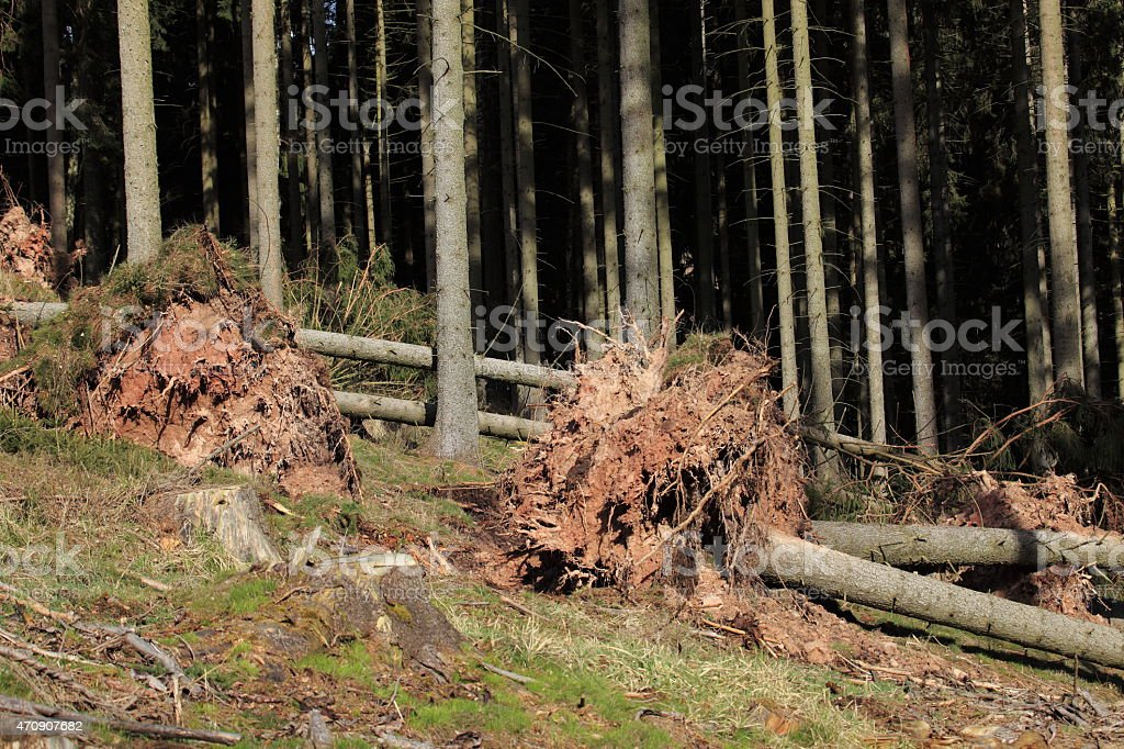 Sturmschaden im Fichtenwald stock photo