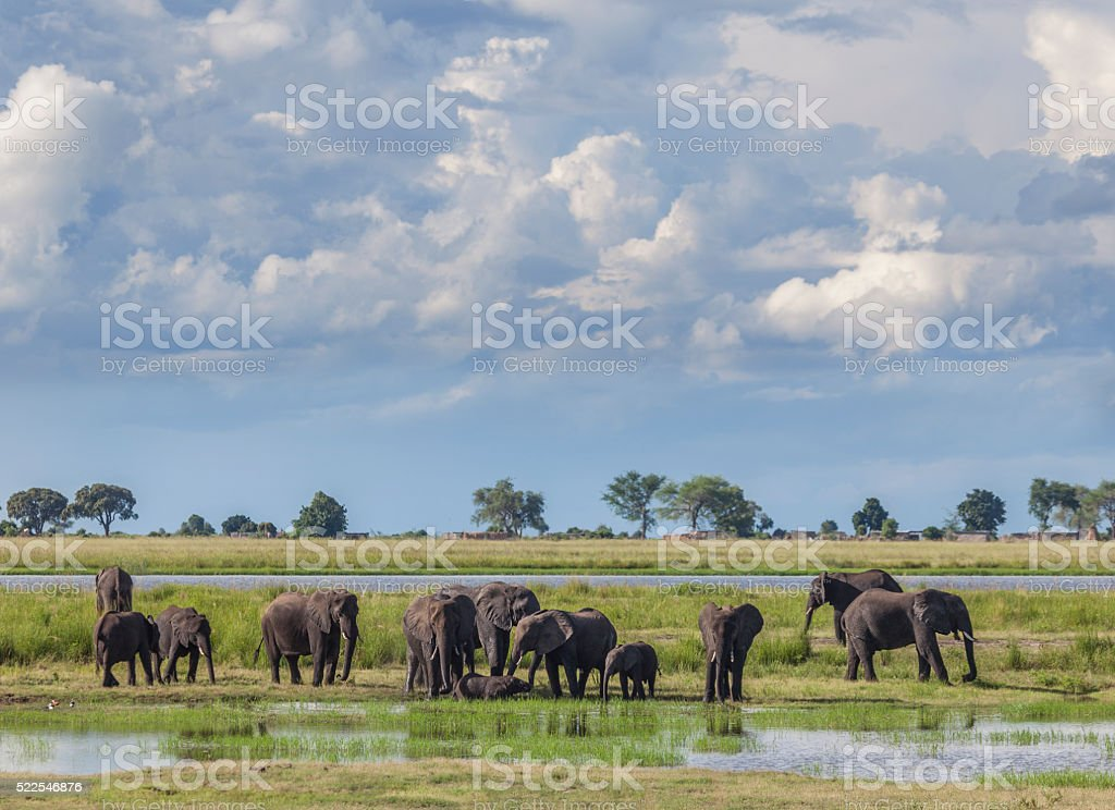 Stormclouds over African Elephant group; Chobe N.P., Botswana, Africa stock photo