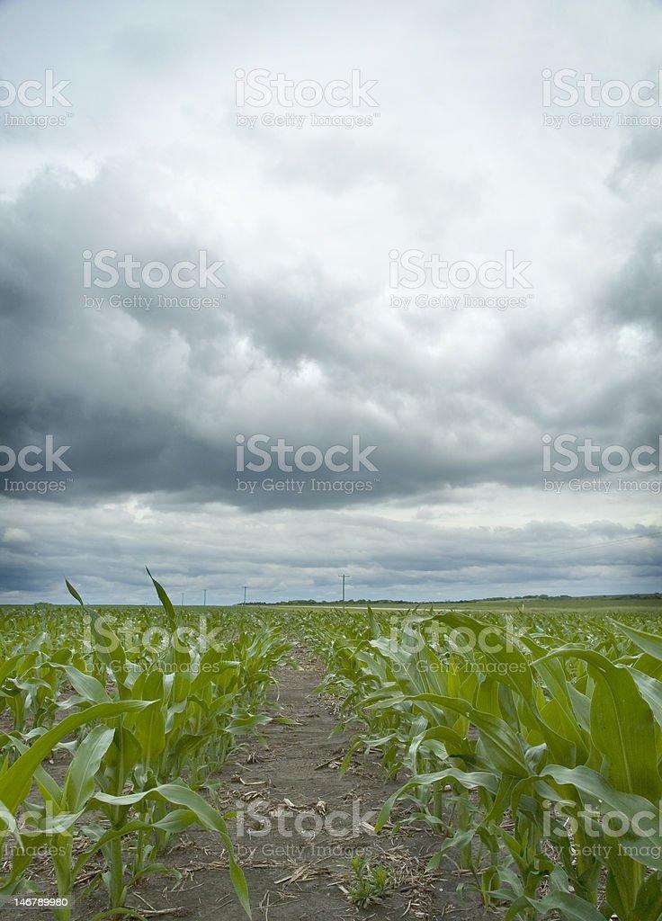 Stormy Corn Field royalty-free stock photo