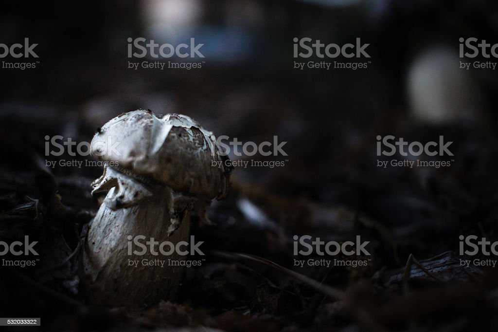Stout Mushroom by Itself stock photo