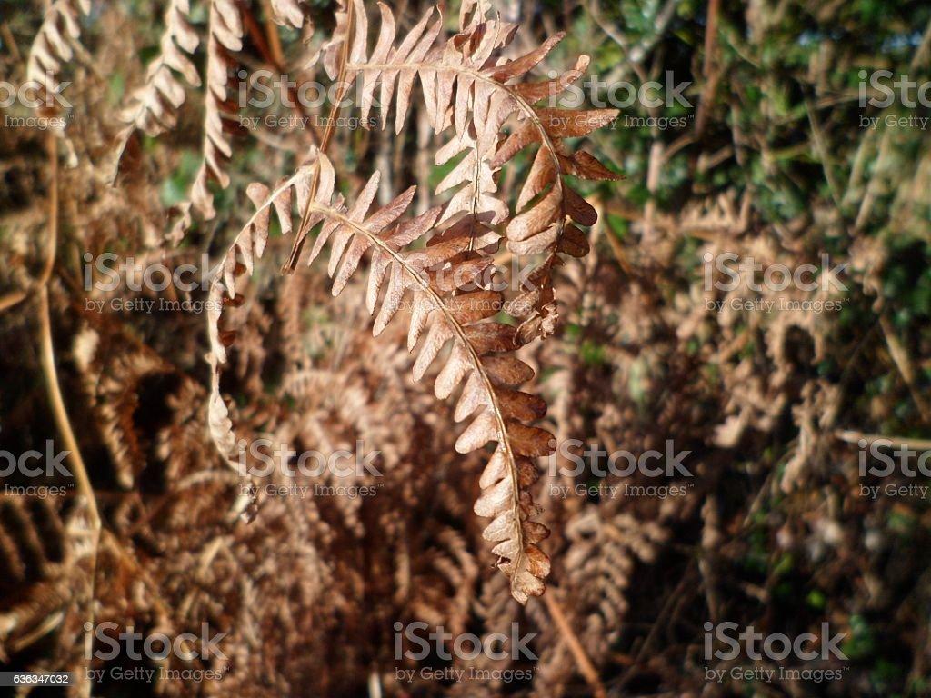 Straggly dead brown Bracken fronds (Pteridium) stock photo