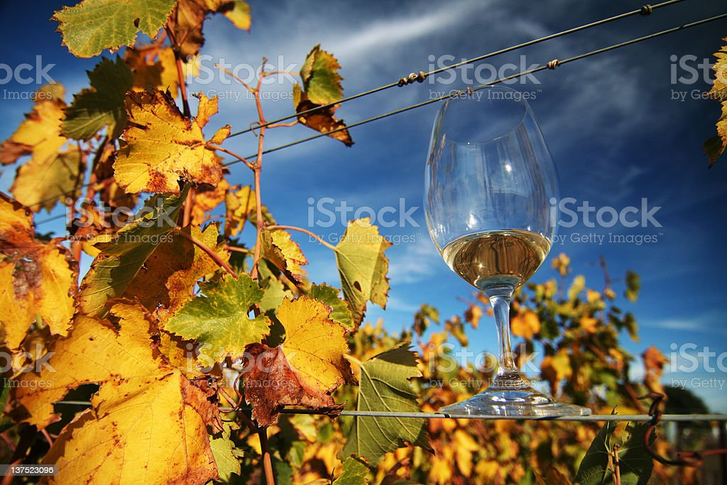 Straight From the Vine stock photo